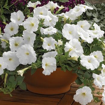 Ramblin' White Hybrid Petunia