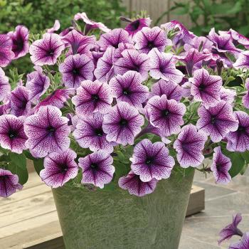 Purple Vien Opera Supreme Hybrid Petunia