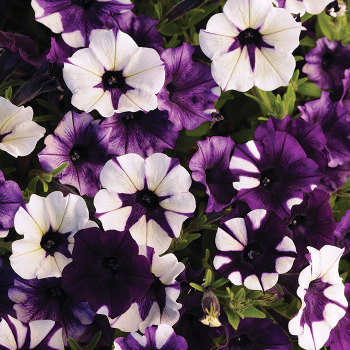 Shock Wave Purple Tie Dye Hybrid Petunia
