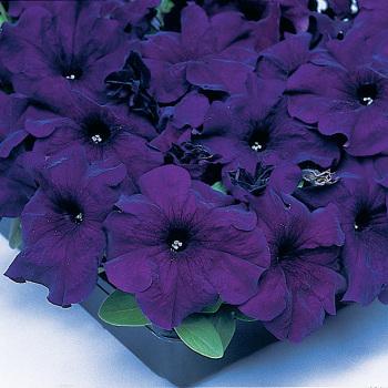 Blue Supercascade Hybrid Petunia Pixie Stake