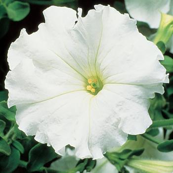 White Supercascade Hybrid Petunia Pixie Stake