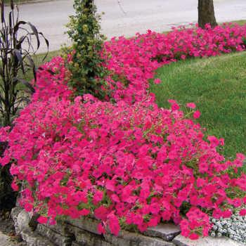 Tidal Wave Hot Pink Hybrid Petunia