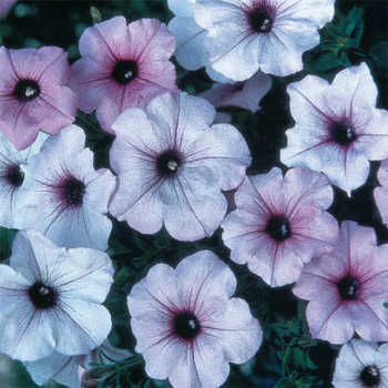 Silver Tidal Wave Petunia Pixie Stakes