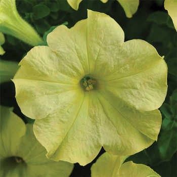 Sophistica Lime Green Hybrid Petunia