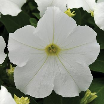 E Z Rider White Hybrid Petunia