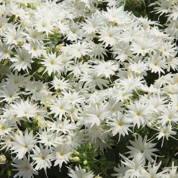 Popstar White Hybrid Phlox