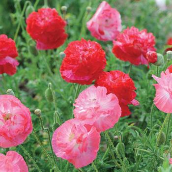Supreme Poppy