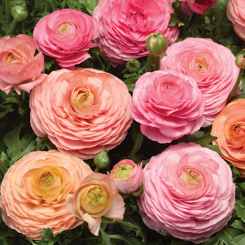 Magic Pink & Peach Hybrid Ranunculus