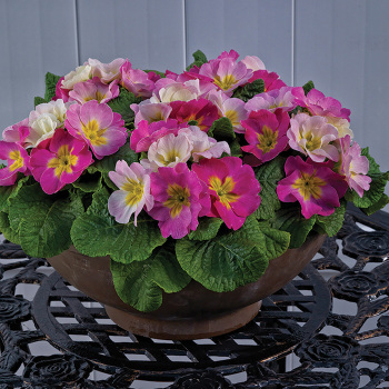 Sweet 16 Hybrid Primula