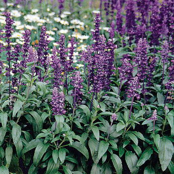 Evolution Violet Salvia