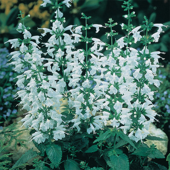 Hummingbird Snow Nymph Salvia - 250 seeds