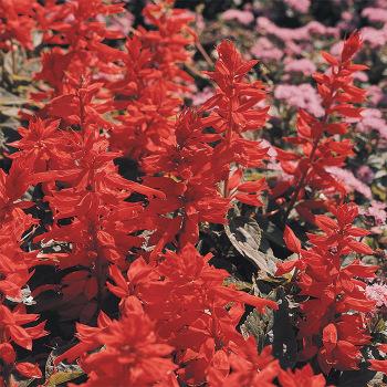 St Johns Fire Salvia