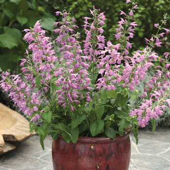 Summer Jewel Lavender Salvia