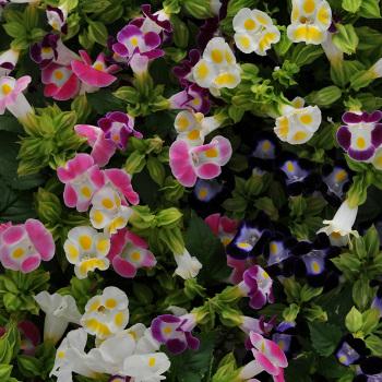 Kauai Mix Torenia