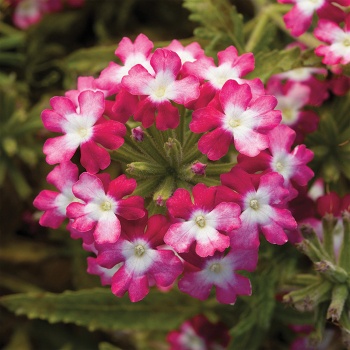 Red Verbena Obsession Twister