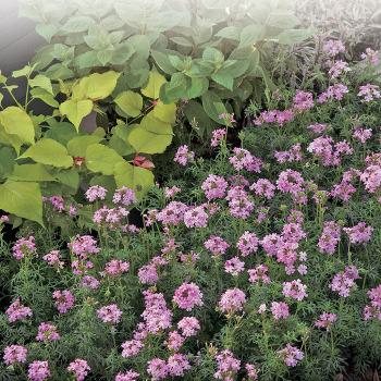 Serenity Pink Verbena