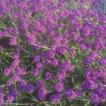 Santos Purple Verbena