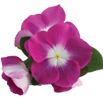 Mega Bloom Halo Orchid
