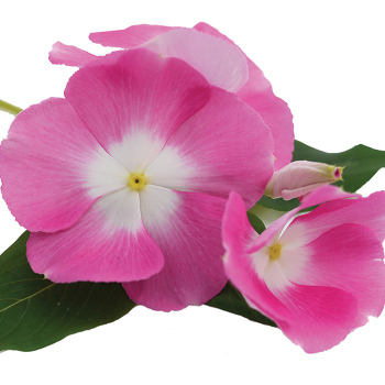 Mega Bloom Halo Pink Vinca Pixie Stakes