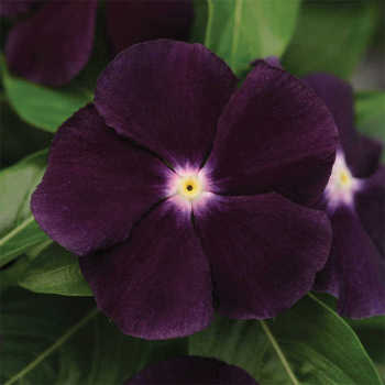 Blackberry Vinca