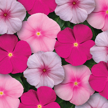 Bubble Gum Mix Vinca