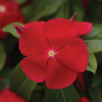 Really Red Vinca