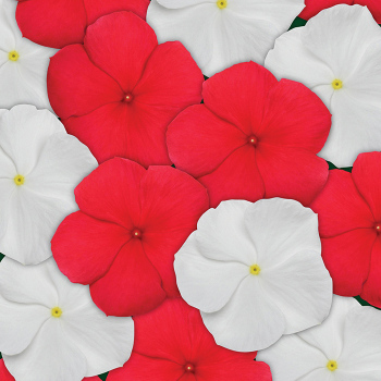 Red And White Mix Vinca