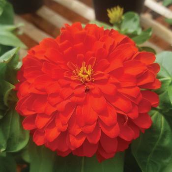 Holi Scarlet Hybrid Zinnia
