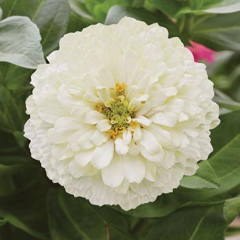 Holi White Hybrid Zinnia