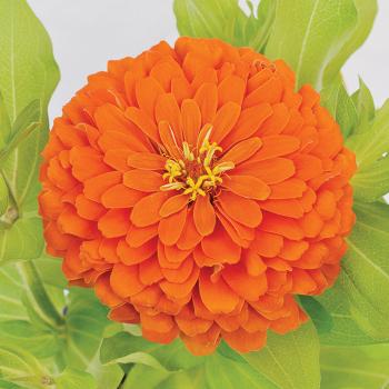 Holi Orange Zinnia Hybrid