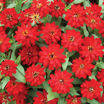 Double Red Profusion Hybrid Zinnia