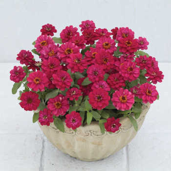 Profusion Double Hot Cherry Zinnia