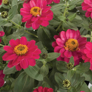 Profusion Double Cherry Zinnia