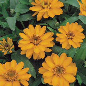 Profusion Gold Yellow Zinnia