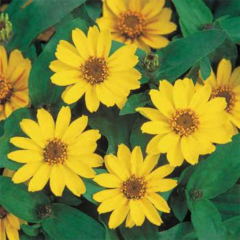 Yellow Profusion Hybrid Zinnia