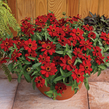 Profusion Red Zinnia