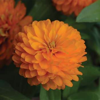 Double Zahara Bright Orange Zinnia