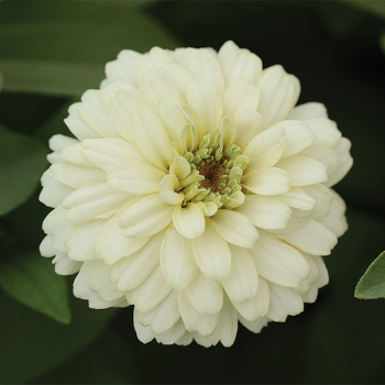 White Zahara Double Zinnia