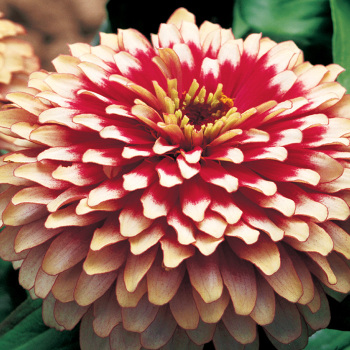 Cherry And Ivory Swizzle Zinnia