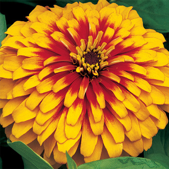 Scarlet And Yellow Swizzle Zinnia