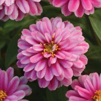 Raspberry Ripple Zahara Zinnia Pixie Stakes