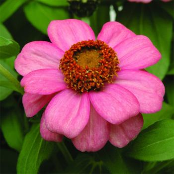 Zahara Coral Rose Zinnia