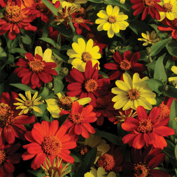 Zahara Bonfire Mix Zinnia