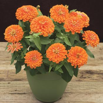 Orange Preciosa Hybrid Zinnia