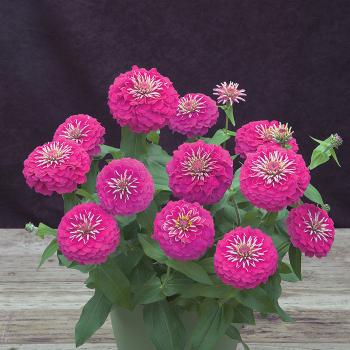 Pink Preciosa Hybrid Zinnia
