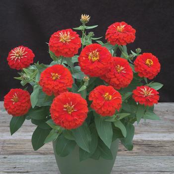 Scarlet Preciosa Hybrid Zinnia