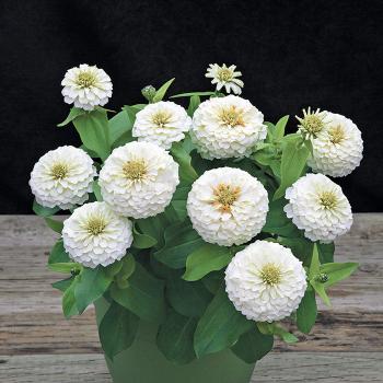White Preciosa Hybrid Zinnia