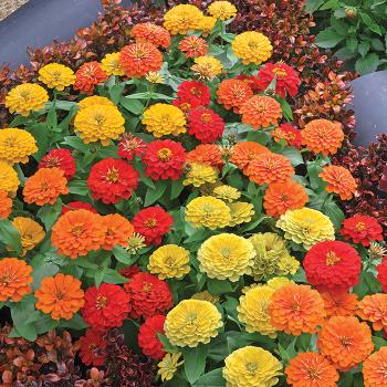 Tropical Blend Preciosa Hybrid Zinnia