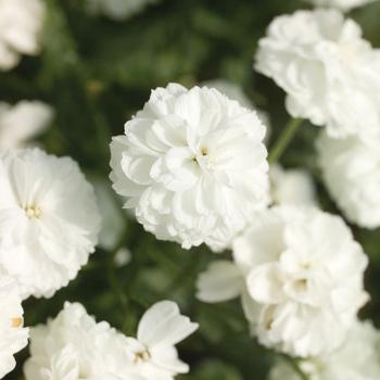 Marshmallow Achillea