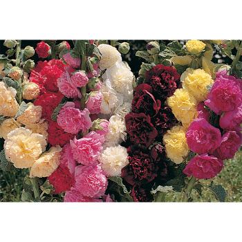 Charter Double Mix Hollyhock